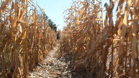 Passagem entre as fileiras do milho que inspecionam a plantação Milho maduro no campo video estoque