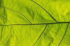 Passagem verde da luz do close up da folha Fotografia de Stock