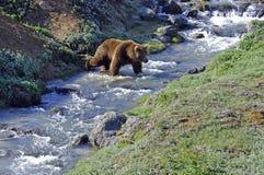 Passages de fleuve d'ours Images libres de droits