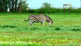 Passaggi maschii delle zebre davanti alla macchina fotografica stock footage