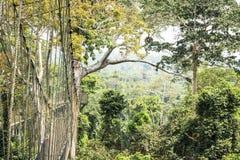 Passaggi pedonali del baldacchino in foresta pluviale tropicale, parco nazionale di Kakum, Gha fotografia stock