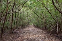 Passaggio pedonale con accumulazione delle foglie nella foresta della mangrovia Fotografia Stock