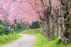 Passaggio pedonale con il fiore di ciliegia rosa Fotografia Stock Libera da Diritti