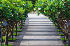 Passaggio pedonale coperto dall'albero di plumeria Fotografia Stock