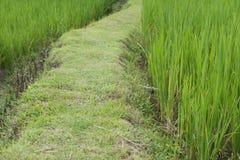 passaggio pedonale fra riso verde nella risaia piantagione, azienda agricola, agr Immagini Stock Libere da Diritti