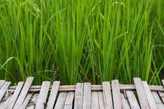 passaggio pedonale vicino a riso verde nella risaia piantagione, azienda agricola, agricu Immagine Stock Libera da Diritti