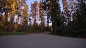 Passando la strada e la fermata firmi dentro la foresta di Yosemite video d archivio