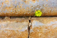 Passando tramite la parete - la pianta trova che è il proprio modo fotografia stock