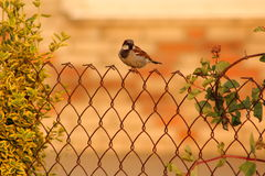 Passant domesticus auf dem Gitter Lizenzfreies Stockfoto