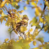 Passant P d'oiseau de moineau plan rapproché détaillé de domesticus, arbre d'automne Photographie stock libre de droits