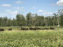 Passare gregge della Buffalo selvaggia nel parco nazionale dell'isola degli alci, Alberta, Canada immagine stock
