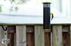 Passarinho amarelo no alimentador do pássaro Foto de Stock Royalty Free