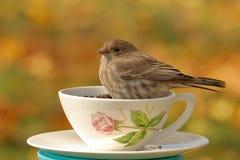 Passarinho da xícara de chá Foto de Stock