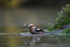 Passarinho de Apple que toma um banho na água Fotos de Stock Royalty Free