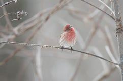 Passarinho do inverno fotografia de stock royalty free