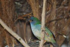 Passarinho do papagaio de Tricolored Foto de Stock Royalty Free