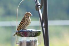 Passarinho em um Birdfeeder Imagens de Stock Royalty Free