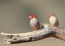 Passarinho Red-headed Fotos de Stock Royalty Free