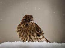 Passarinho roxo fêmea em uma tempestade da neve Fotos de Stock Royalty Free