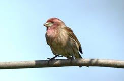 Passarinho roxo (purpureus do Carpodacus) Fotografia de Stock