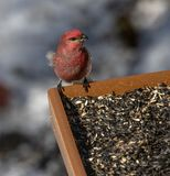 Passarinho roxo que visita uma estação da alimentação de inverno no Algonquin fotografia de stock royalty free