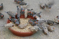 Passarinhos de zebra, pássaros, alimentando em sementes fotos de stock