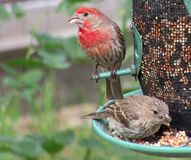 Passarinhos rosados no alimentador Imagem de Stock