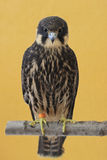 Passatempo euro-asiático (Falco Subbuteo) Fotografia de Stock Royalty Free