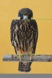 Passe-temps eurasien (Falco Subbuteo) Photographie stock libre de droits
