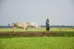 Passeggiata birmana dell'agricoltore con la mucca sul campo del riso o della risaia situato a Bagan Fotografia Stock
