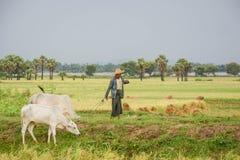 Passeggiata birmana dell'agricoltore con la mucca sul campo del riso o della risaia situato a Bagan Immagini Stock