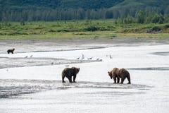 Passeggiata costiera d'Alasca dell'orso grigio degli orsi bruni lungo la spiaggia al parco nazionale di Katmai immagini stock libere da diritti