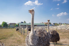 Passeggiata degli uccelli dello struzzo sulla campagna dell'azienda agricola dello struzzo Immagine Stock