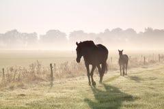 Passeggiata dei cavalli sul pascolo nebbioso Immagine Stock