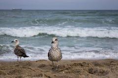 Passeggiata dei gabbiani lungo la spiaggia Fotografia Stock Libera da Diritti