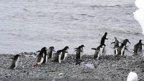 Passeggiata dei pinguini di Adelie lungo la spiaggia video d archivio