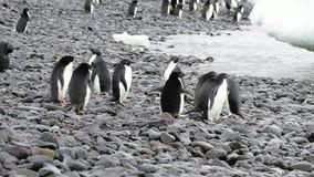 Passeggiata dei pinguini di Adelie lungo la spiaggia stock footage