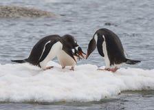 Passeggiata dei pinguini di Gentoo sul ghiaccio Immagine Stock