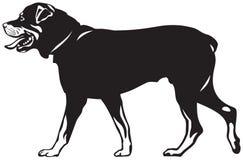 Passeggiata del cane di Rottweiler Fotografia Stock
