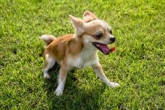 Passeggiata del cucciolo della chihuahua sul prato inglese Fotografia Stock Libera da Diritti