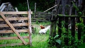Passeggiata del gallo sul cortile del paese stock footage