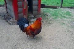 Passeggiata del gallo sull'aria aperta Fotografie Stock