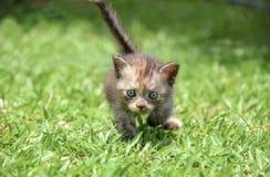 Passeggiata del gattino su erba verde Immagini Stock