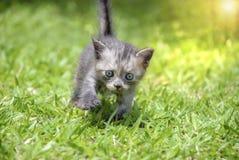 Passeggiata del gattino su erba verde Immagine Stock Libera da Diritti