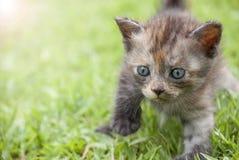 Passeggiata del gattino su erba verde Immagine Stock
