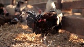 Passeggiata del pollo e del gallo intorno all'azienda agricola archivi video