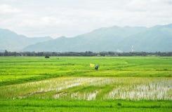 Passeggiata dell'agricoltore nel giacimento verde del riso: La Tailandia Immagine Stock