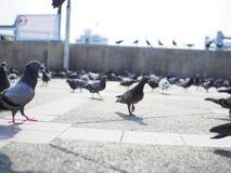 Passeggiata della colomba in via nella luce del giorno di pomeriggio fotografia stock