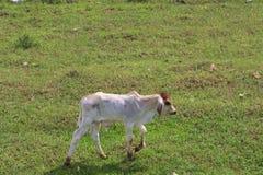Passeggiata della mucca del vitello Immagine Stock