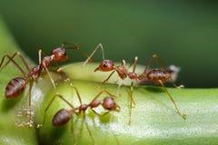 Passeggiata delle formiche sui ramoscelli Fotografie Stock Libere da Diritti
